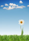 Spring daisy Royalty Free Stock Images