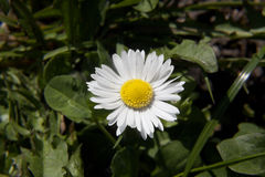 Spring daisy Stock Photo