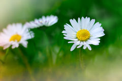 Spring daisy Stock Photography
