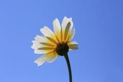 Spring daisy bottom view Stock Photo