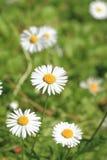 Spring daisy flower Stock Images