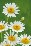 Spring daisy flower Stock Image