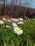 Spring daisy flower Stock Photo