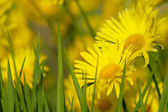 Spring daisy. Flowering  yellow daisy  in the garden Royalty Free Stock Images