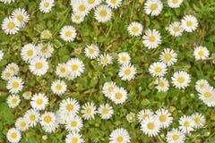Spring daisy flowers Stock Photo