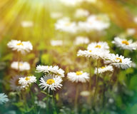 Spring daisy flowers in late afternoon Stock Photo