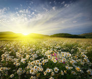 Spring daisy flowers Royalty Free Stock Images