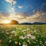 Spring daisy flowers in meadow. royalty free stock photo