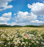 Spring daisy flowers  in meadow. Stock Photo