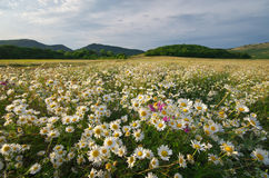 Spring daisy flowers  in meadow. Royalty Free Stock Images