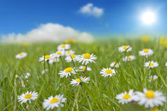 Spring daisy on green grass Stock Photo