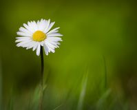 Spring Daisy Growing in Grass Stock Photo