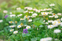 Spring daisy in meadow Royalty Free Stock Photo