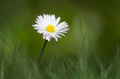 Spring Daisy with Morning Dew Growing in Grass Stock Photos