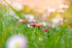 Spring daisy with purple petals Royalty Free Stock Images