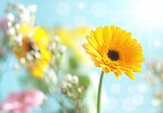 Spring daisy Stock Photography