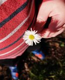 Spring Daisy. Small hands collecting spring flowers. Daisy held by small boy royalty free stock photography