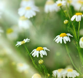 Spring daisy Stock Images