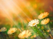 Spring daisy Stock Image