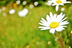 Spring daisy Royalty Free Stock Photo
