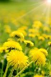 Spring dandelion Stock Images