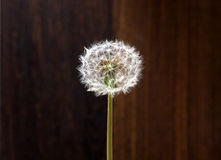 Spring dandelion on a background of wood. Fluffy dandelion with no wind in the sun Royalty Free Stock Photos