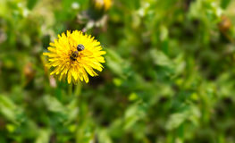 Spring dandelion with bee Stock Images