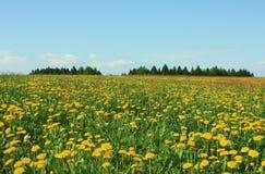 Spring dandelion field Stock Image