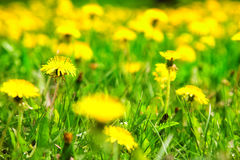 Spring dandelion field Stock Photos