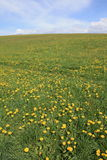 Spring dandelion field Stock Photos