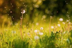 Spring dandelion Stock Photography