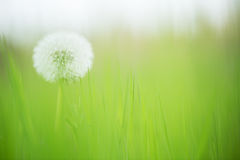 Spring dandelion on green Stock Photography
