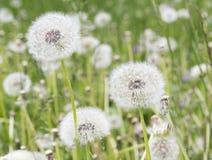 Spring dandelion Stock Photo