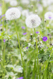 Spring dandelion Stock Photos