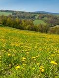 Spring dandelion meadows Stock Images