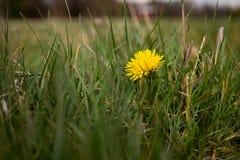 Spring Dandelion plant in park stock photo