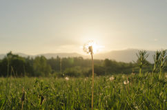 Spring. Dandelion with the sun behind it Stock Photos