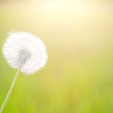 Spring dandelion in sunshine Royalty Free Stock Images