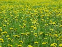 Spring dandelion weeds Royalty Free Stock Images
