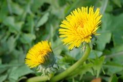Spring Dandelion Stock Image