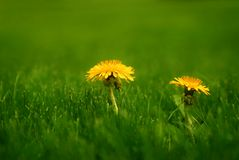 Spring Dandelions Stock Photography