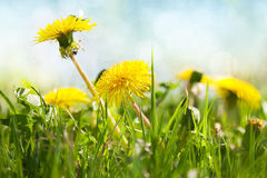 Spring dandelions Stock Images