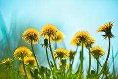 Spring dandelions Stock Image