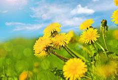 Spring dandelions Royalty Free Stock Photo