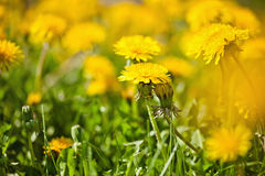 Spring dandelions Royalty Free Stock Images