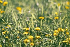 Spring dandelions bloom, close - up tinted.  Royalty Free Stock Photography