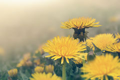 Spring dandelions flowers royalty free illustration