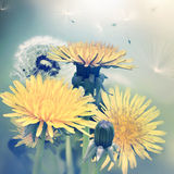 Spring dandelions flowers Royalty Free Stock Photography