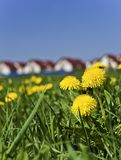 Spring dandelions next to the village Stock Photo