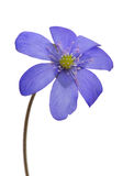Spring dark blue single flower on white Stock Images